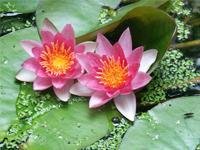 Image: Water Gardening