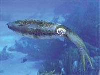 Image: Calamari