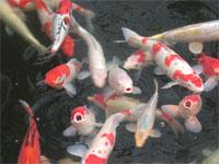 Image: The Koi carp invasion