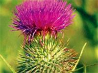 Image: THISTLE TEST YE - QUIZ